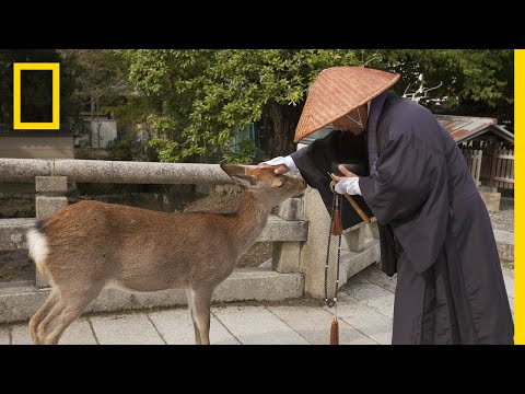 The World's Largest Wooden Temple is Surrounded by Wild Deer | National Geographic