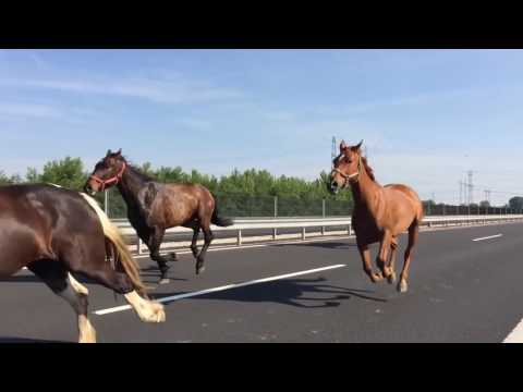 Horses Sprint Along Motorway in Hungary