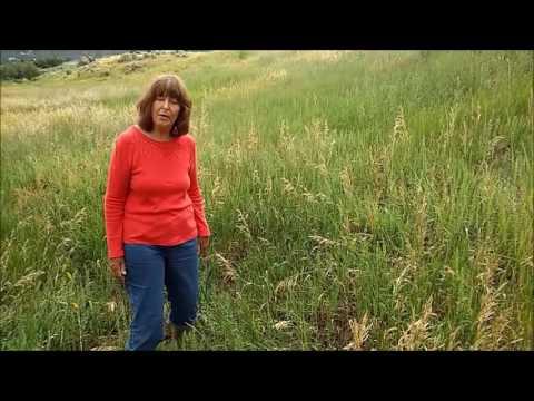 How to Identify Smooth brome – Bromus inermis - Colorado Grass