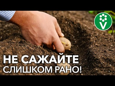 Когда сажать картофель? Не пропустите подходящий момент! | картофеля | картофель | посадить | картошки | картошка | посадка | сажать | можно | когда | ли