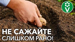 Когда сажать картофель? Не пропустите подходящий момент!