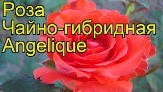 Роза чайно-гибридная Анжелика. Краткий обзор, описание характеристик, где купить саженцы Angelique