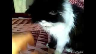 Кота накурили спайсом - smoky cat