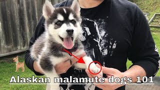 Alaskan malamute dogs 101