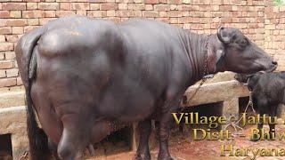 Champion Murrah Bull Arjun's son KARAN at Premnagar. Mother milk - 23.645 kg record in HLDB.