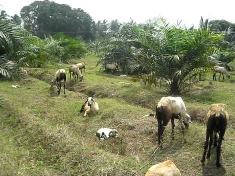 Goat rearing and penning to mauring