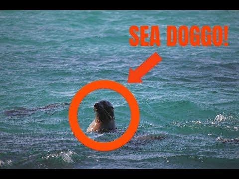 WE SAW PLAYING SEALS! - Cape Bridgewater, Australia