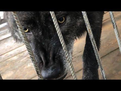 Канадский волк Акела показывает характер, рычит и прыгает на клетку. Северный волк