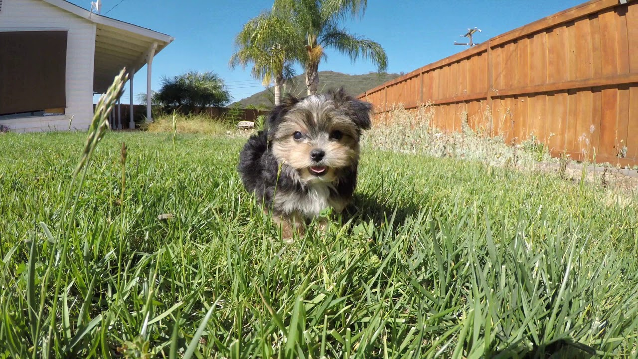 Rocket - TINY male Morkie puppy for sale in San Diego