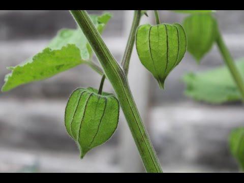 Giant Cape Gooseberry, tomato, pepper, potato... July 2015