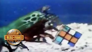 "MANTIS SHRIMP ""SOLVES"" RUBIK"