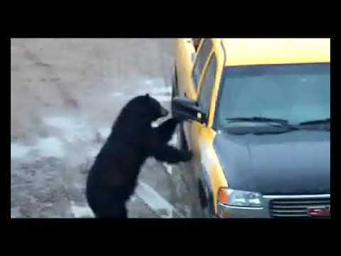 Smarter then the average bear