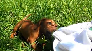 Такса Бася і погані носки - Basia dachshund and bad socks
