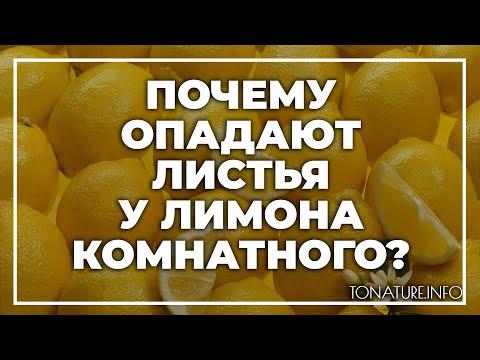 Почему опадают листья у лимона комнатного? | toNature.Info