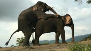 ELEPHANT MATING WITH FEMALE - Elephant Mate/ Breading Video