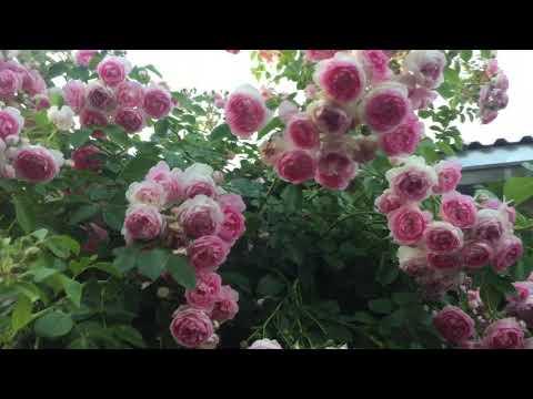 Эту СУПЕР-РОЗУ обязательно закажите на весну  2020 г. Стена фарфоровых цветов!!!
