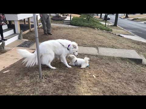 Two white dogs - Havanese puppy and Great Pyrenees adult dog