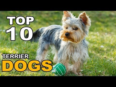 Top 10 Terrier Dog Breeds