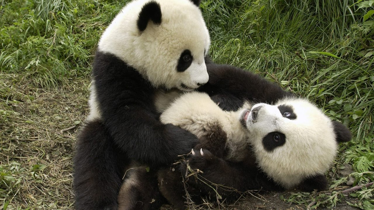 фото панда смешные
