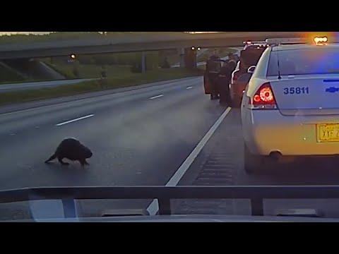 Associated Press: Alaska police dashcam films uncertain beaver