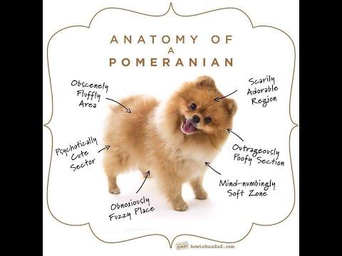 Dog 101pomeranian Pawsome Dog Breed Youtube