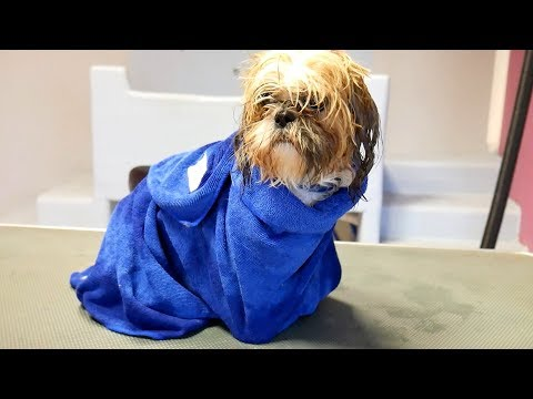 Grooming Guide - How to Bath a Shih Tzu