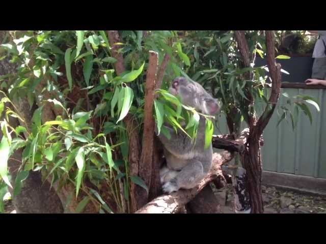 Nosiy Grunting Koala Bear!