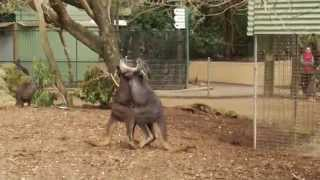 カンガルーが喧嘩しています!