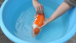 FISHCARE 001 - Betäuben von Koi