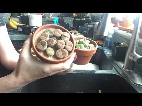 Lithops and Conophytum Care And Watering