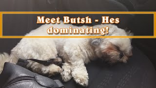 Shih Tzu Puppy Taunting And Dominating Bigger Dog!