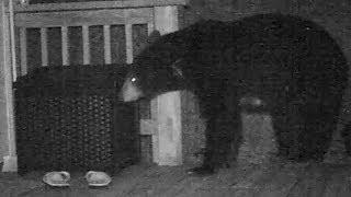 Black Bears Amazing Sense of Smell