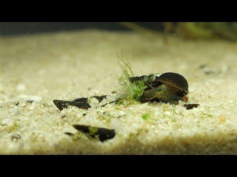 Schwarze Turmdeckelschnecke (Haltung im Aquarium)