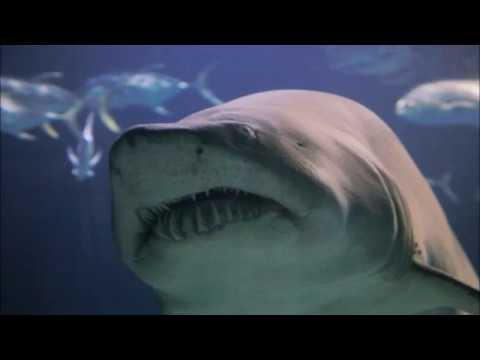 Sharks - Tiburones -  Tubarao - Haie - Oceanografic - Valencia - Spain