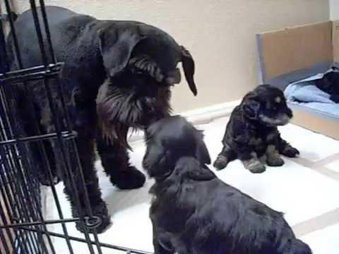 Miniature Schnauzer Puppies - 4 weeks