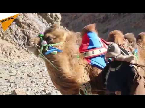 Mongolia: 12,000km Camel Caravan to Share Mongolian Nomadic Culture With the World