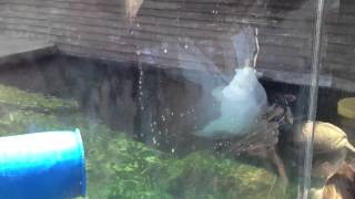 Columbus Ohio Zoo Polar bear pt 3 Thumbnail