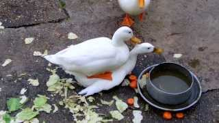 White Ducks Mating at Duck Pond (UK Water Birds)