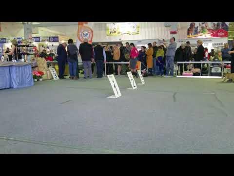 CAC г. Краснодар 11.03.2018г Ринг французский бульдог