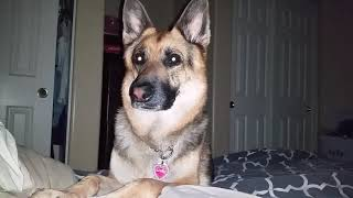 German Shepherd waking up the owner 6.20 am  my day off