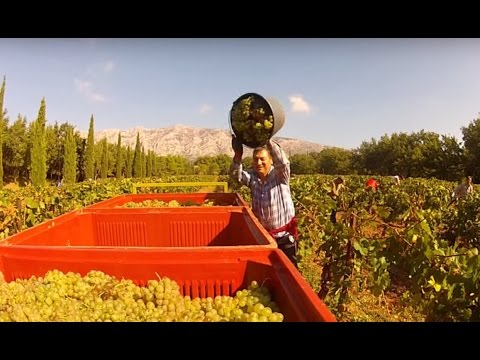 Hand harvesting grapes in Provence