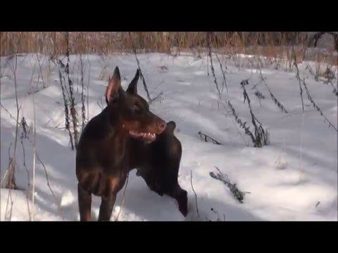 A walk with a doberman. How to make the walk interesting to the dog.