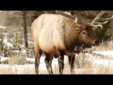 Life Of Elk! The Year-round Life Cycle Of Elk.