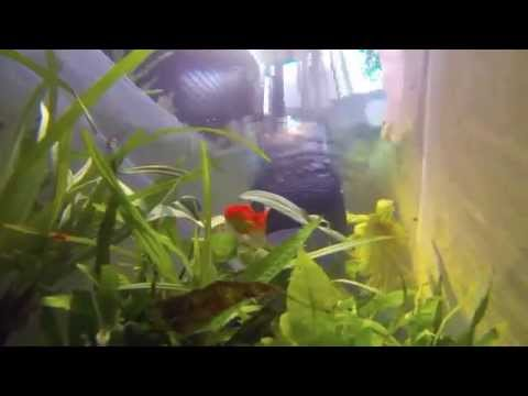 Goldfish Eating Live Tadpoles