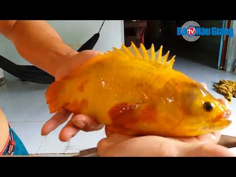 Bắt được cá rô màu vàng hiếm thấy