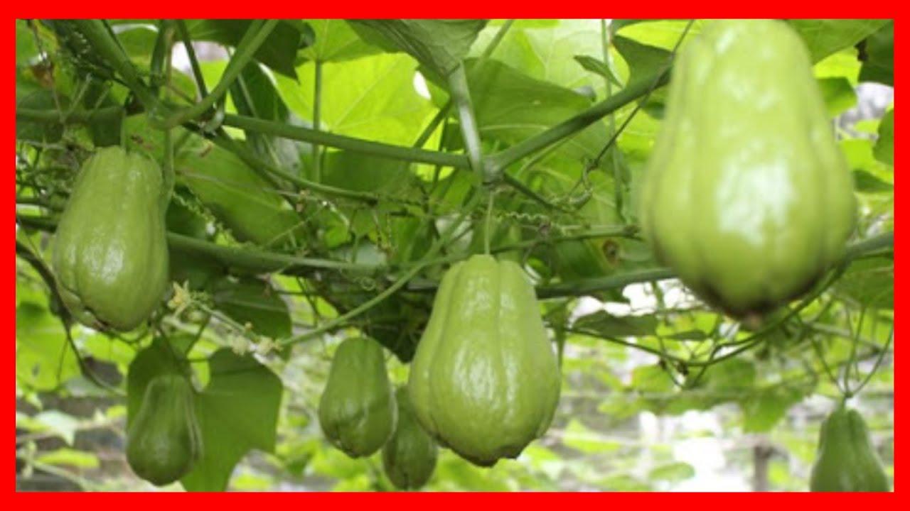 Cách trồng Su Su , Su su mua ở chợ về trồng có lên trái không? Trồng rau sạch tại nhà | Vlog #146