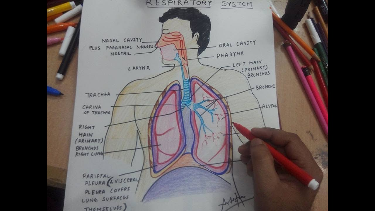 How to draw respiratory system youtube how to draw respiratory system ccuart Choice Image