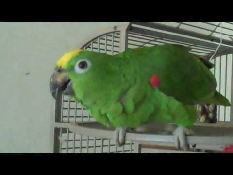 Amazon Parrot Sings Opera (Pavarotti)