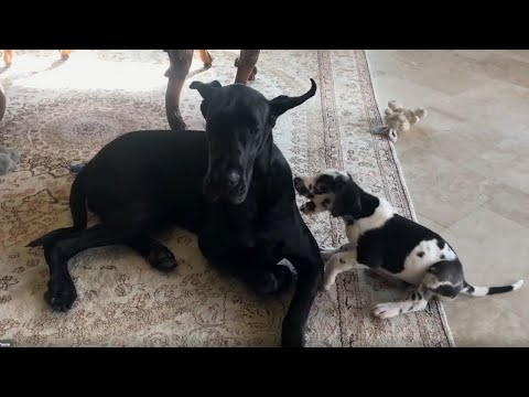 Patient Great Dane puts up with extremely pesky puppy
