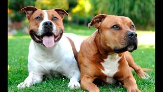 Американский стаффордширский терьер (American Staffordshire Terrier) - порода собак